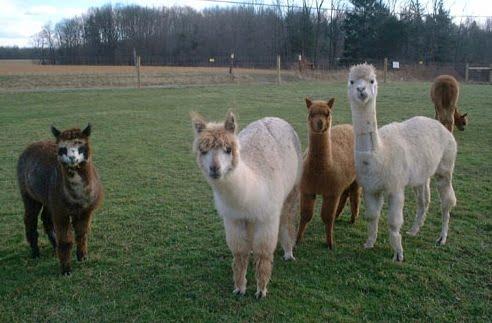 Alpacas_fencing