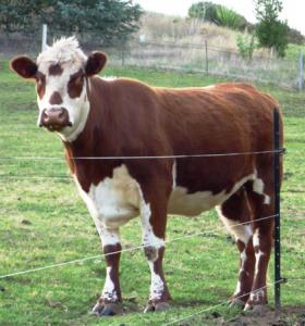 Electrobraid Cattle Fencing
