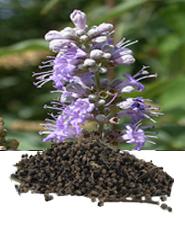 Hilton Herbs Equine Herbs & Tinctures - Vitex Agnus Castus